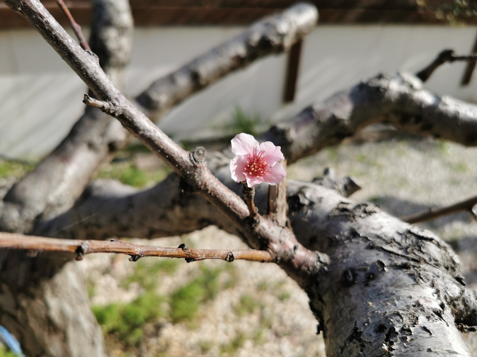 life-lesson-from-my-garden-peach-blossom-promise
